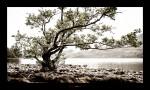 Loch Maree und der Baum